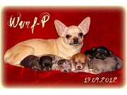Chihuahua Welpen - Wurf P