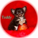 Chihuahua Welpen - Teddy