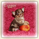 Chihuahua Welpen - Tigger