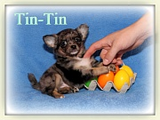 Chihuahua Welpen - Tintin