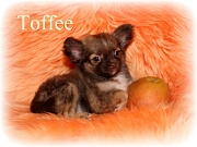 Chihuahua Welpen - Toffee